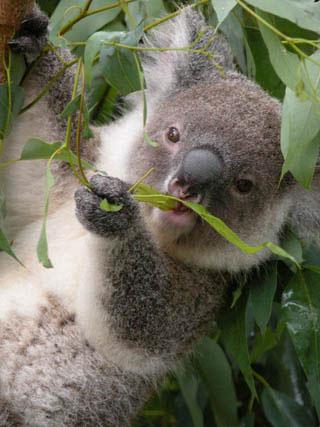 В Коала-Парке коалу можно взять на руки и сфотографироваться